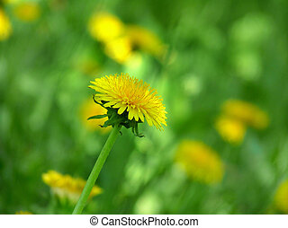 Beautiful yellow dandelions in the meadow
