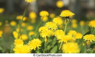 Beautiful yellow dandelions on a green meadow