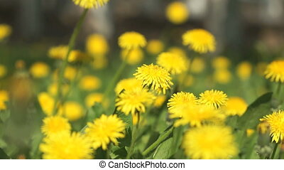 Beautiful yellow dandelions on a green meadow