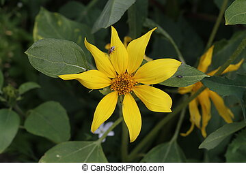 Beautiful yellow flower in the garden on a green background