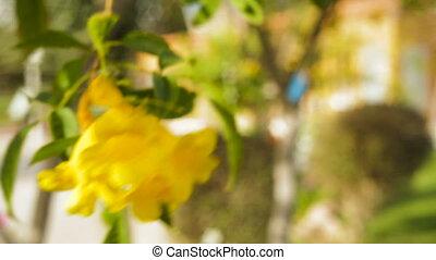 beautiful yellow flowers bougainvillea in a tropical garden...