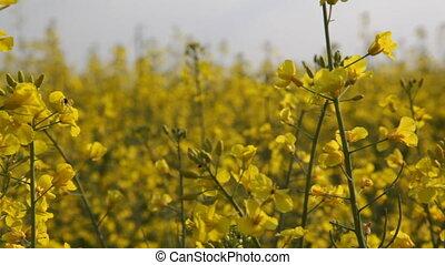 Beautiful yellow flowers field