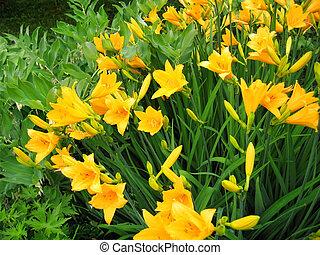 Beautiful yellow flowers of day-lily - Beautiful yellow...