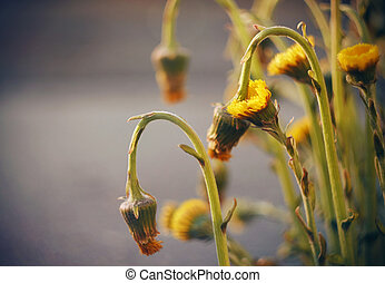 Beautiful yellow flowers of the foal bloom
