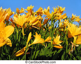 Beautiful yellow flowers on blue sky background