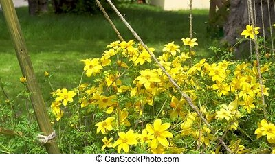 Beautiful yellow flowers swaying in the wind.