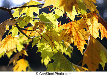 Beautiful yellow foliage of autumn maple