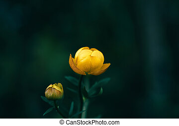 Beautiful yellow globeflower, trollius europaeus, trollflower on dark green background. Bright yellow is a rare flower. Protected plant. Close-up macro.