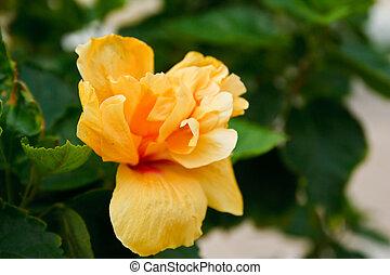 Beautiful yellow hibiscus flower
