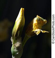 beautiful yellow iris in nature