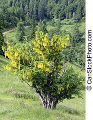 LABURNUM flowers on a tree in summer