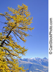 beautiful yellow larch in autumn under blue sky with...