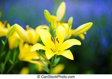 beautiful yellow lilies in the garden