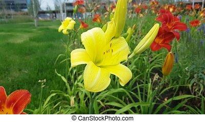 Beautiful Yellow Lily Flower - Beautiful yellow Lily Flower...