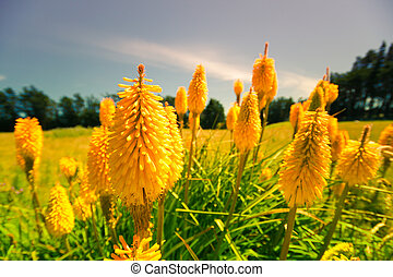 Lupin flowers in New Zealand - Beautiful yellow Lupin...