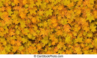 Beautiful Yellow Maple Leaves Covering the Screen. Growing Foliage Animation with Alpha Matte. Useful for Transitions. Spring Nature and New Life Concept. 4k Ultra HD.