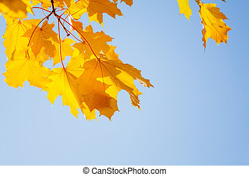 Beautiful yellow maple trees close-up