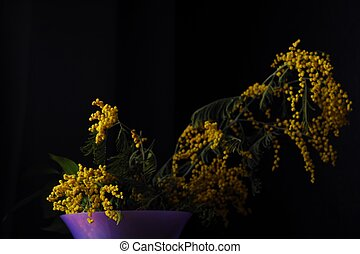 Beautiful yellow Mimosa in vase on black background
