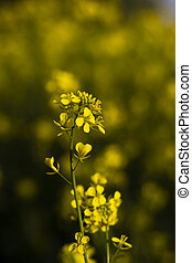 beautiful yellow mustard flower plant with shallow depth of field