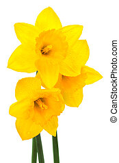 narcissus - Beautiful yellow narcissus on a white background