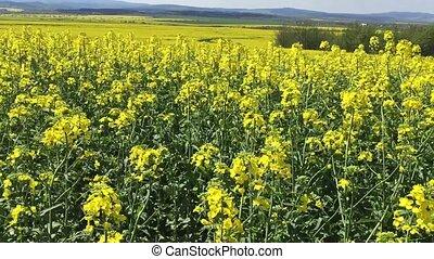 Beautiful Yellow Oilseed Rape Flowers in the Field, panoramic