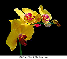 Beautiful yellow orchid isolated on a black background