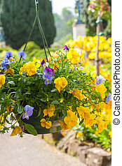 Beautiful yellow pansy flowers in hanging basket