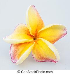 Beautiful Yellow plumeria isolated on white background