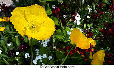 Beautiful yellow poppies