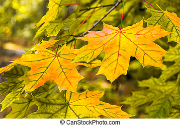 Beautiful yellow red green leaf in autumn
