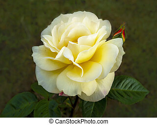 Beautiful yellow rose flower and bud in a garden