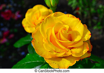 Beautiful yellow rose in garden, floral background