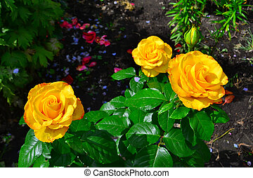 Beautiful yellow roses in garden, floral background