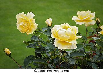 Beautiful yellow Roses (rosa) on display at Butchart Gardens