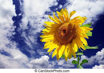 sunflower - Beautiful yellow sunflower close-up at the sky...