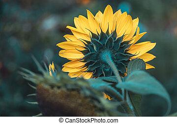yellow sunflower flower in the garden on green foliage background