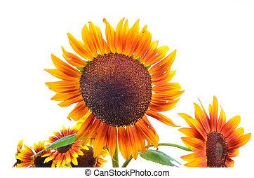 Beautiful yellow sunflower isolated on white background
