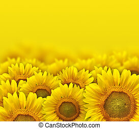 sunflower - beautiful yellow sunflower petals