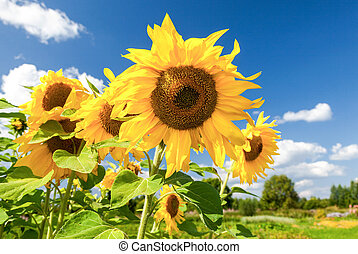 Beautiful yellow sunflowers against the blue sky background