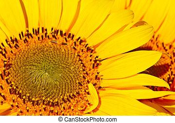 Beautiful yellow sunflowers background