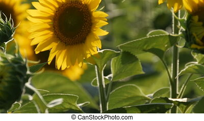 Beautiful yellow sunflowers in field on warm summer day