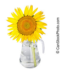 beautiful yellow sunflowers in glass vase isolated on white background
