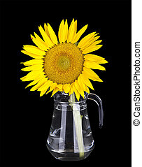 beautiful yellow sunflowers in glass vase isolated on black