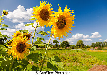 Beautiful yellow sunflowers in the field against blue sky background