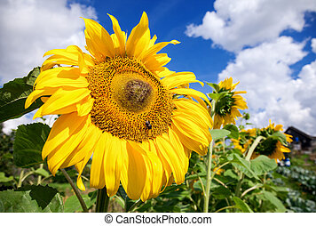 Beautiful yellow sunflowers in the field against blue sky backgr