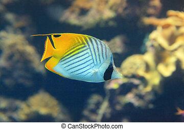 Beautiful yellow tropical fish