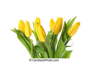 Beautiful yellow tulips isolated on white background