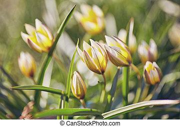 yellow wild tulip in the garden. Bieberstein Tulip.
