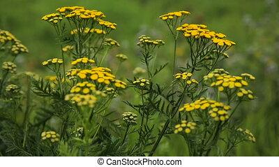 Beautiful yellow wildflowers. - Closeup on beautiful yellow...
