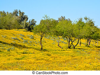 Beautiful Yellow Wildflowers in Skunk Creek Wash and Trail in Glendale, Maricopa County, Arizona USA